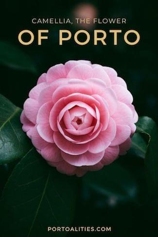 camellia flower porto portugal