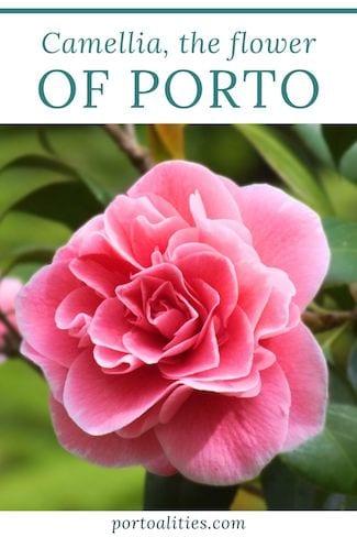 history pink camellias porto