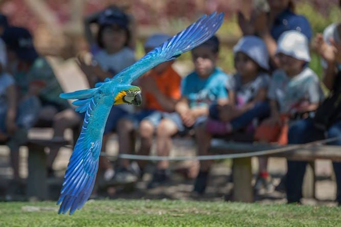 papagaio voar