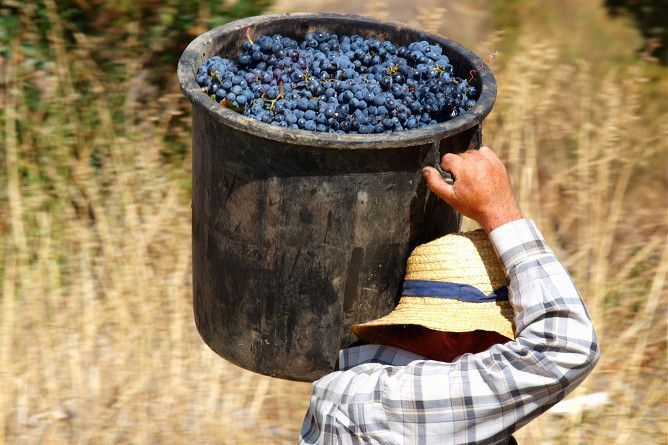 douro vindimas uvas vinho