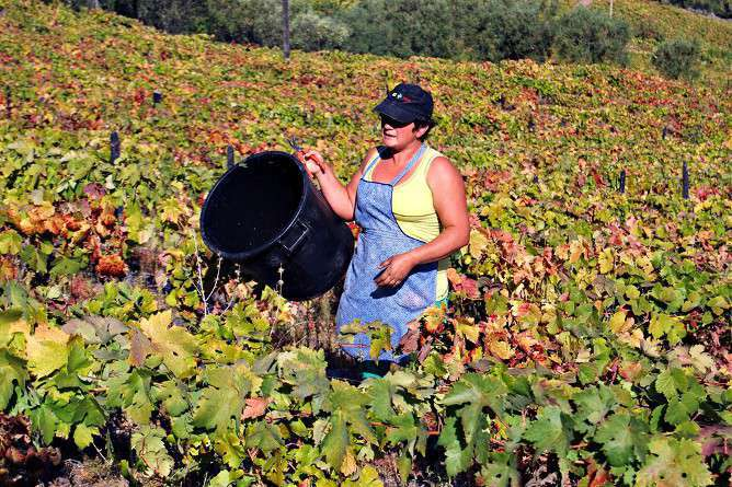 harvesting wine douro