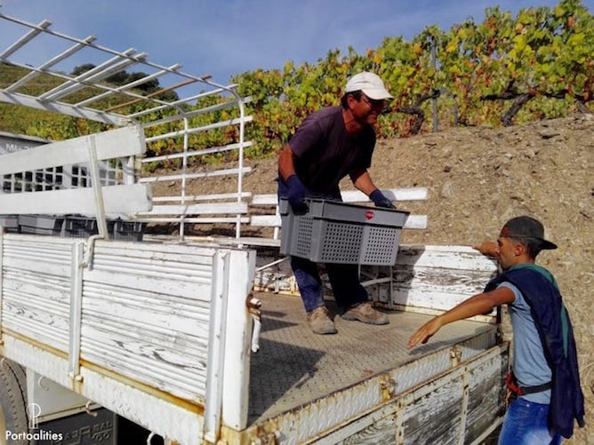 men carrying grapes harvest douro valley
