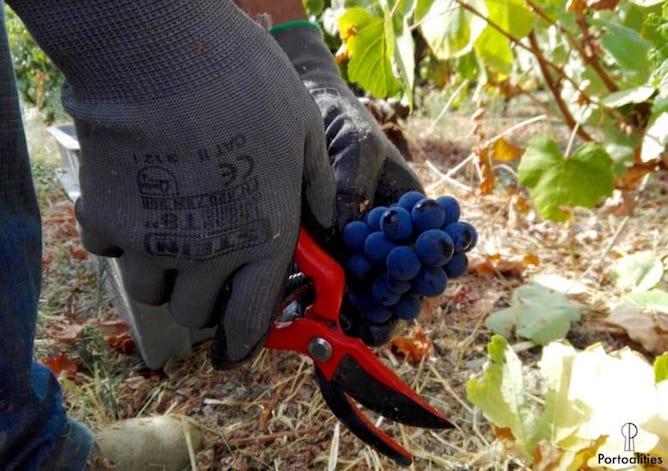 scissors grapes leaves