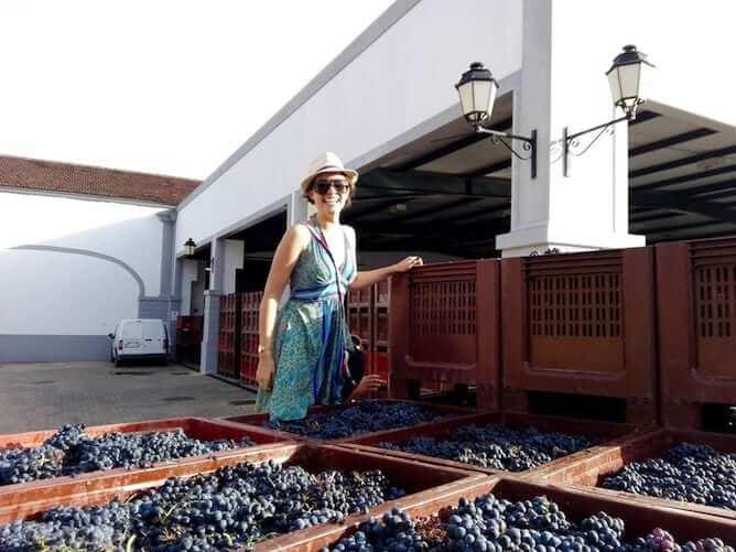 cestos uvas safra douro portugal