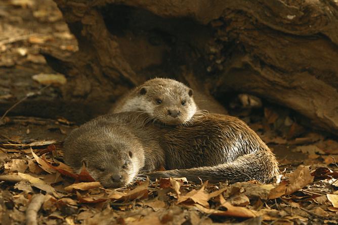 casal lontras parque biologico gaia