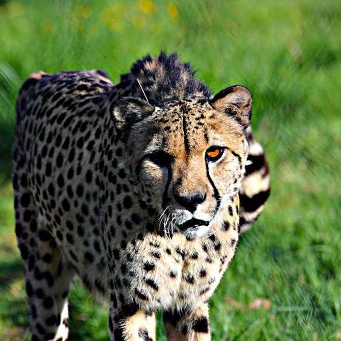 tiger zoo santo inacio porto